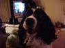 Samantha, Female, 3 Years Old, English Springer Spaniel