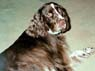 Monty, M, 5 1/2 Years Old, English Springer Spaniel