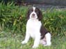 Millie, Female, 12 Weeks, English Springer Spaniel