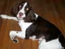 Jack, Male, 1 Year Old, English Springer Spaniel