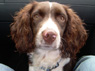 Robbie, Male, 12 Months Old, English Springer Spaniel