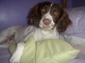 Indie, Female, 1 1/2 Years Old, English Springer Spaniel