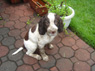 Kingston Kelly, Male, 3 Months Old, English Springer Spaniel